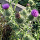 Photo of a Scottish thistle