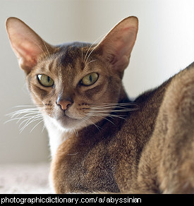 Photo of an abyssinian cat.