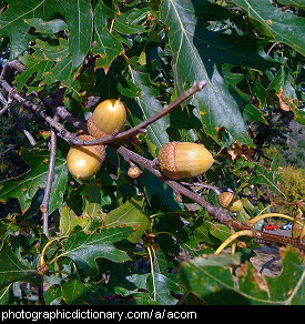 Photo of acorns on an oak tree.