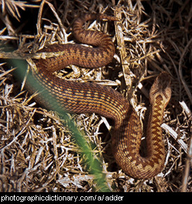 Photo of an adder