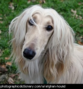 Photo of an afghan hound