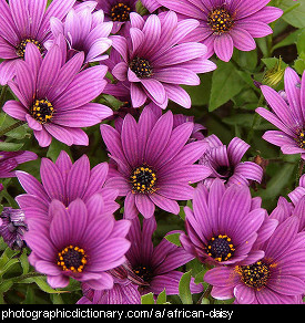 Photo of African daisy flowers