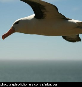 Photo of an albatross