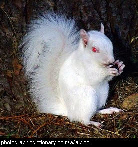 Photo of an albino squirrel