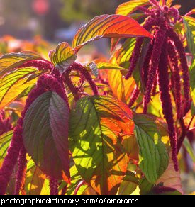 Photo of amaranth.
