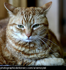 Photo of an annoyed cat