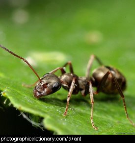 Photo of an ant.