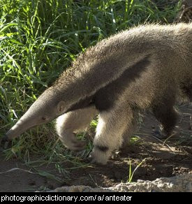 Photo of an anteater
