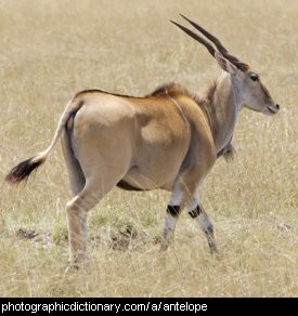 Photo of an eland antelope.
