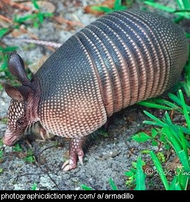 Photo of an armadillo