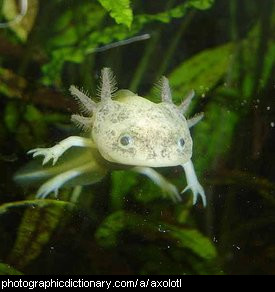 Photo of an axolotl