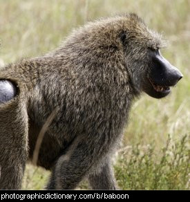 Photo of a baboon.