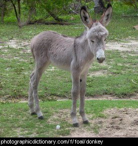 Photo of a baby donkey
