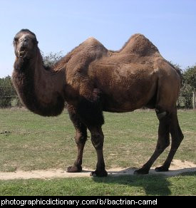 Photo of a bactrian camel