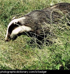 Photo of a badger