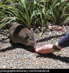 Photo of a bandicoot