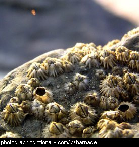 Photo of barnacles on a rock