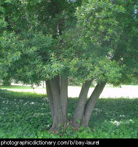 Photo of a bay laurel tree