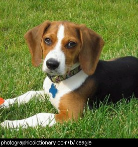 Photo of a beagle