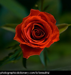 Photo of a beautiful rose