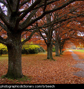 Photo of beech trees in a park