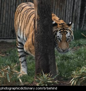 Photo of a tiger hiding behind a tree