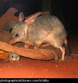 Photo of a bilby