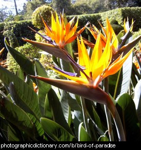 Photo of a bird of paradise plant