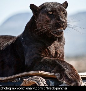 Photo of a black panther.