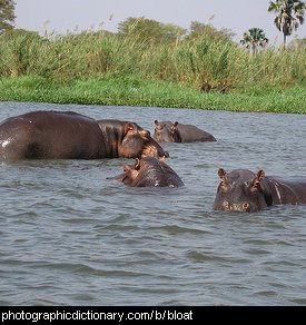 Photo of a group of hippos