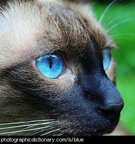 Photo of a cat with blue eyes