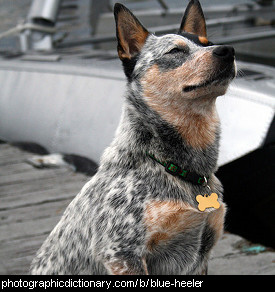 Photo of a blue heeler
