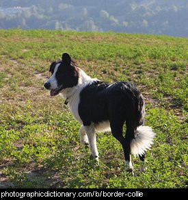 Photo of a border collie.