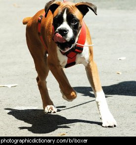 Photo of a boxer dog
