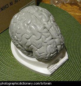 Photo of a model brain