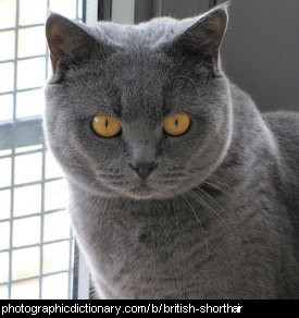 Photo of a british shorthair