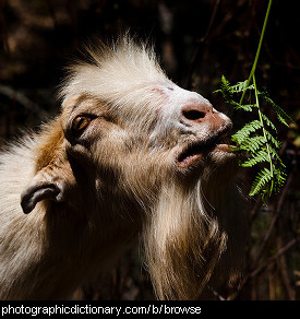 Photo of a goat browsing