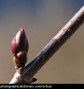Photo of a bud