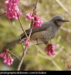 Photo of a bulbul