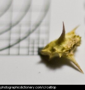 Photo of a caltrop seed head