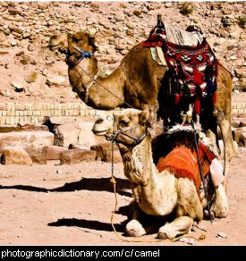 Photo of two camels