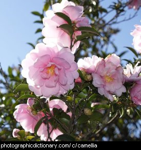 Photo of camellia flowers