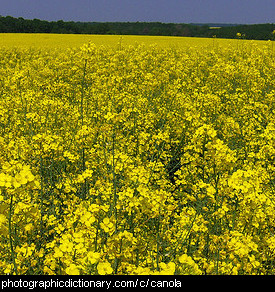 Photo of a field of canola