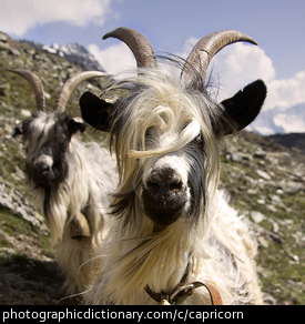 Photo of a goat