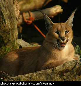 Photo of a caracal