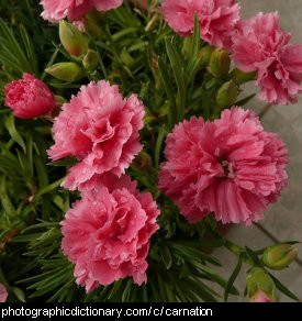 Photo of carnation flowers
