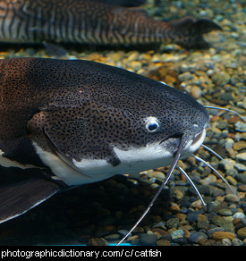 Photo of a catfish