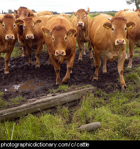 Photo of cattle