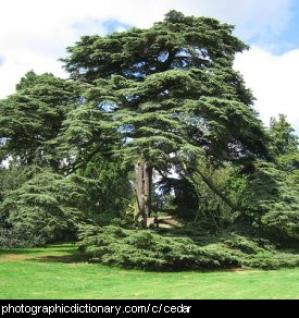 Photo of a cedar tree