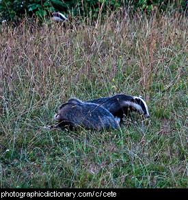 Photo of a group of badgers